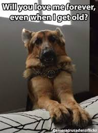 Lovers Meme - funny german shepherd meme for dog lovers click here to check out