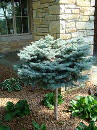 globe blue spruce tree form picea pungens globosa tree form