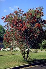 weeping bottlebrush tree 50 seeds tree plants