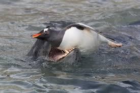 leopard seal hunting gentoo penguins youtube