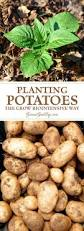 which food plant was native to the old world best 25 planting potatoes ideas on pinterest how to plant