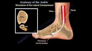 Foot Tendons Anatomy Anatomy Of The Foot U0026 Ankle Everything You Need To Know Dr