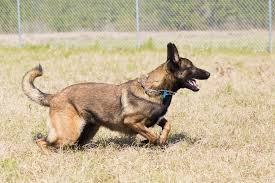 belgian shepherd health problems howze german shepherds and malinois puppies malinois