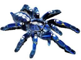 the gooty tarantula poecilotheria metallica ultimate exotics