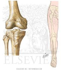 Knee Bony Anatomy View Of Knee And Hip Knee Ankle Mechanical Axis