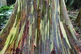 Rainbow Eucalyptus Eucalyptus