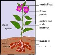 Lotus Flower Parts - plant adaptations simple science