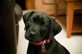 puppy food labs 2017 reviews u0026 advice choose