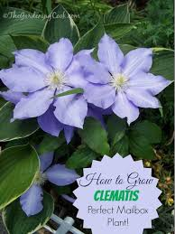 Purple Flower On A Vine - clematis greaty vining plant for mailboxes the gardening cook