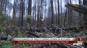 rutland to cut and sell infested pine trees