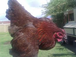 what breeds of chickens are red backyard chickens