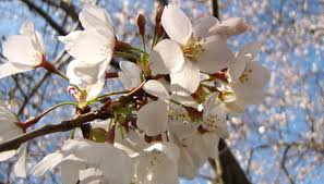 tree with white flowers how to identify a white flowering tree garden guides