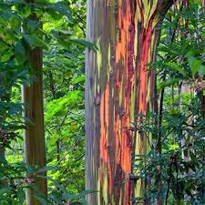 40x tree rainbow eucalyptus deglupta mindanao gum seeds home