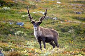 reindeer facts history useful information and amazing pictures