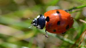 how long does a ladybug live reference com