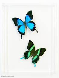 Blue And Green Butterfly - blue green swallowtails framed swallowtail butterfly
