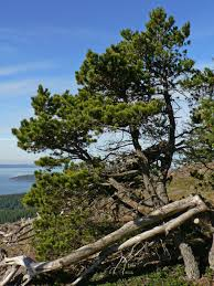 trees are also native plants pinus contorta lovely form native shoreline pinterest plants