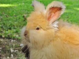 blog posts bungalow of bunnies dutch u0026 english angora rabbits