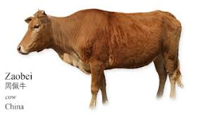 the cow wall alphabetical a z cattle breed picture reference