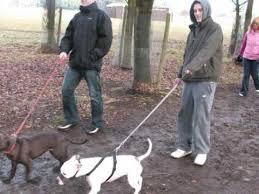 america pit bull terrier club ireland u0027s pit bull terrier association youtube