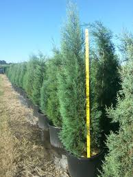these are some 30 gallon arizona cypress great as ornamental