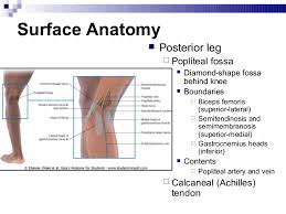 Back Knee Anatomy Lower Extremity