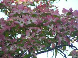 Trees With Pink Flowers Blueview Nurseries Deciduous Trees