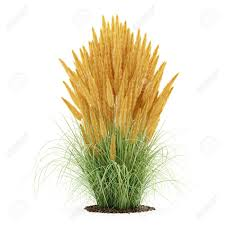 ornamental grass plant isolated on white background 3d illustration
