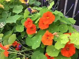 nasturtium flowers stuffed nasturtium flowers try something new today
