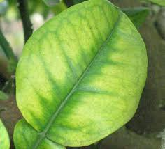 Deficiency Diseases In Plants - fact sheet nutrient deficiency citrus diseases