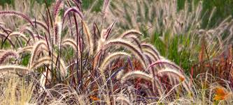 ornamental grasses to grace your yard this fall doityourself