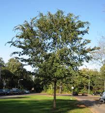 rn ulmus parvifolia hilversum jpg chinese elm our plants