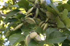 native edible plants australia profitable pongamia high value biofuel from an australian native