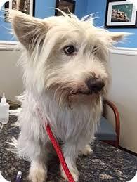 american eskimo dog rescue colorado oak ridge nj second chance pet adoption league american eskimo