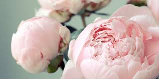peonies flower 12 facts about peonies history of the peony flower