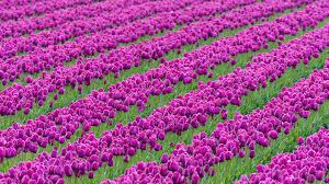 beautiful purple tulips flower garden wallpape 6527 wallpaper