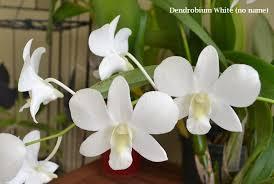 White Dendrobium Orchids Dendrobium White Grace U0027sato U0027 And White Dendrobium Noid