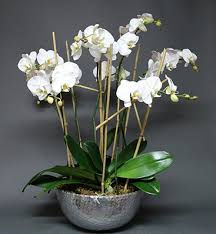 Orchid Cut Flowers - orchids jardiniere