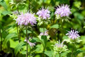 mint flowers bergamot mint flowers in the field stock photo picture and