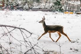Whitetail Deer Home Decor by Free Images Nature Forest Snow Winter Vintage Animal