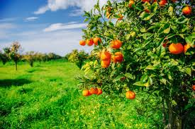 history of fruit what is pomology mr tree inc