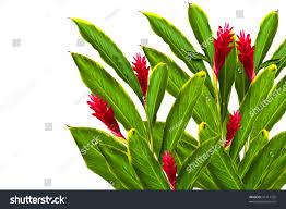 Red Ginger Flower - tropical red gingeralpinia purpurata flowerthis image stock photo