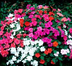 plante vivace soleil impatiens planter et entretenir u2013 ooreka