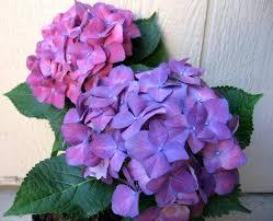Hydrangea Flowers The 25 Best Purple Hydrangeas Ideas On Pinterest Pink Hydrangea
