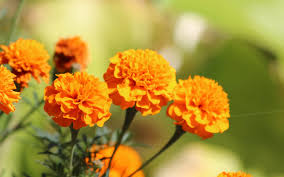 most popular flowers flower marigold picture photo tag marigold flowers wallpapers