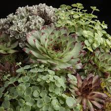 sukkulenten sempervivum arrangements gruen pflanzen 00876