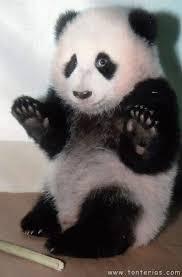resultado de imagen para osos panda bebes osos pandas pinterest