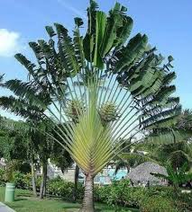 palme f r balkon winterharte palmen fr den balkon winterharte palmen sonstiges f