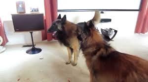 belgian sheepdog dog rescue belgian tervuren playing apollo is feeling frisky youtube