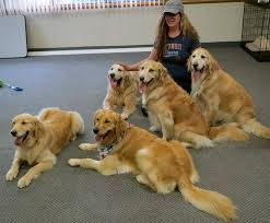 Comfort Golden Retriever Breeders 17 Best Lcc K 9 Comfort Dogs Images On Pinterest Therapy Dogs